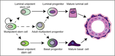 Model of mammary cell hierarchy From Koren and Bentires-Alj. Molecular Cell 2015